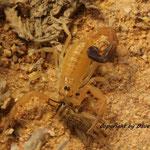 Androctonus australis australis instar II