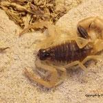 Leiurus haenggi instar V