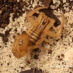 Centruroides elegans instar V