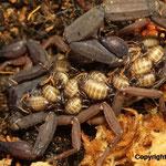 Centruroides gracilis mit Nachwuchs instar I