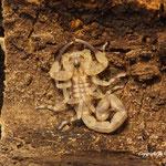 Tityus smithii instar IV