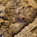 Hottentotta hottentotta instar II