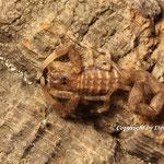 Tityus zulianus instar IV