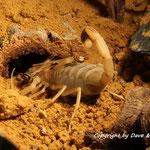Leiurus brachicentrus 0.1