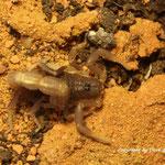 Parabuthus pallidus instar V
