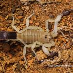 Androctonus australis hector morph instar V