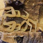 Leiurus haenggi instar VII