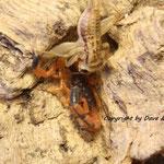 Uroplectes fischeri instar IV bei der Fütterung
