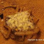 Leiurus quinquestriatus mit Nachwuchs 65 Stück