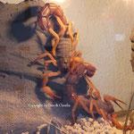 Parabuthus villosus orange morph 1.1