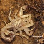 Rhopalurus bonetti instar V
