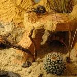 Androctonus bicolor