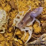 Parabuthus schlechteri instar III