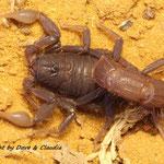 Parabuthus transvaalicus 1.0 instar VII