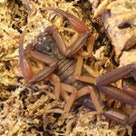 Centruroides gracilis 1.0 instar VI