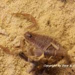 Androctonus baluchicus light morph instar IV