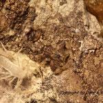 Tityus tayrona instar III