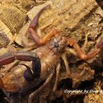 Grosphus ankarana instar VI