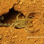Androctonus bicolor instar III