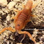 Parabuthus pallidus orange morph 0.1