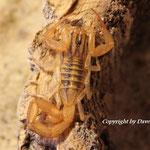 Centruroides elegans instar IV