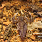 Buthus maroccanus instar III