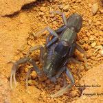 Androctonus bicolor instar VII