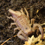 Heterometrus spinifer instar II
