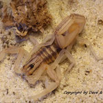 Centruroides elegans instar VI frisch gehäutet