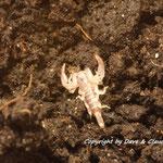 Euscorpius tergestinus instar III