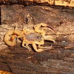 Tityus serrulatus instar IV