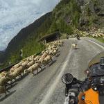 Tierisch viel Gegenverkehr auf der Südseite der Transfagarasan