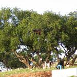 Ziegen klettern in den stachligen Arganbäumen
