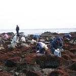 布海苔採り体験ツアー 自分で採った布海苔は格別