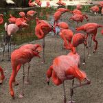 Flamingos im Zoo San Diego