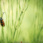 st locust butterfly