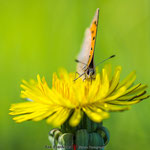 small copper on dandelion
