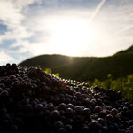 wine grapes mountains