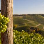 vine stock