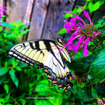 Eastern Tiger Swallowtail outside the smithy