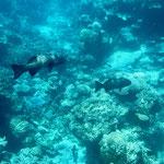 Rainbow grouper