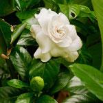 Gardenia, amazing scent
