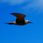 a rare blue grey tern