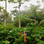 Collecting papaya