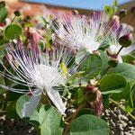 Blühender Kapernbusch
