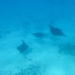 ... the Manta ray cleaning station