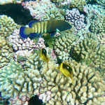Rainbow grouper and small reef fish