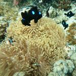 ...good snorkeling: rare anemone with clown fish
