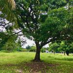 Mango tree...