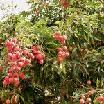 Lichee season on Rurutu
